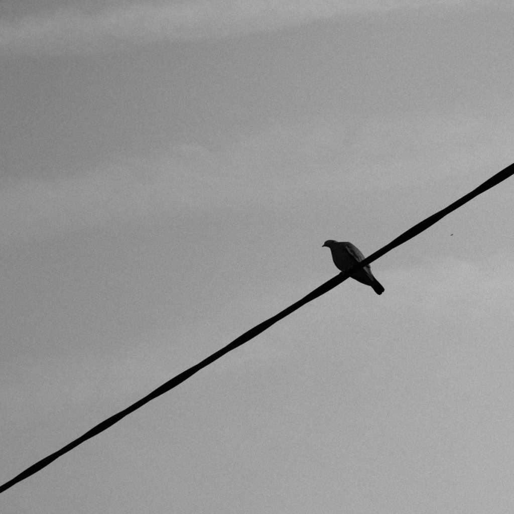 black and white photo of pigeon on a power line