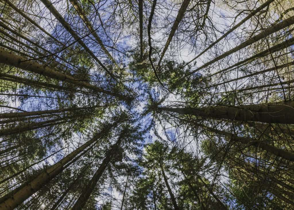 wide angle photograph of pine trees taken with fish eye lens