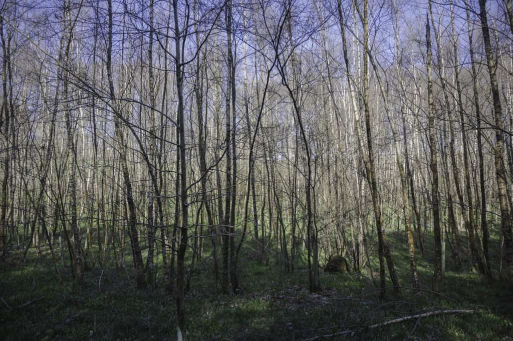 a photograph of young silver birch trees