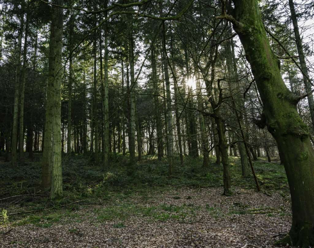 Pine trees, a woodland photograph in South Oxfordshire