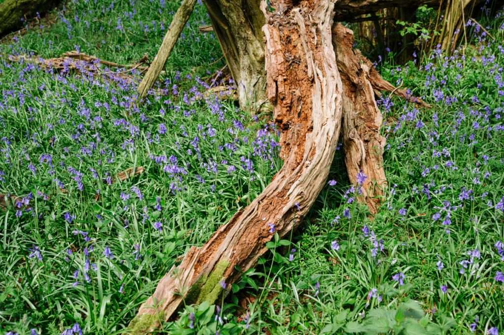 photograph of bluebells and trees