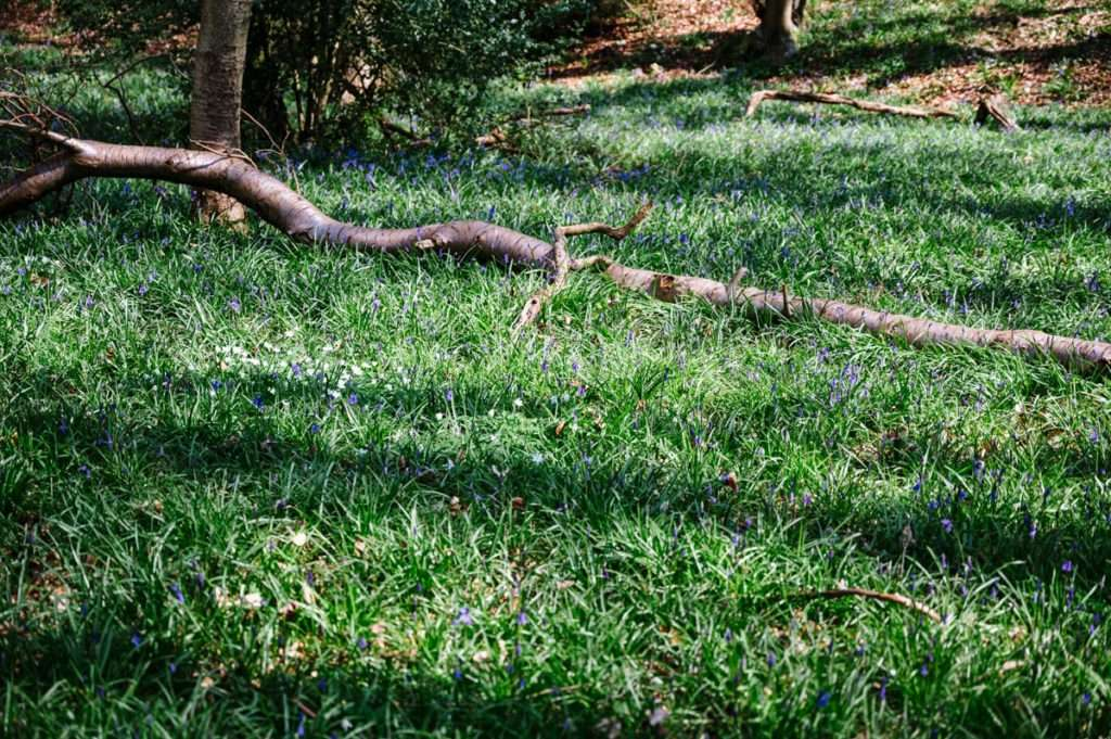 Blue bells appearing by fallen tree