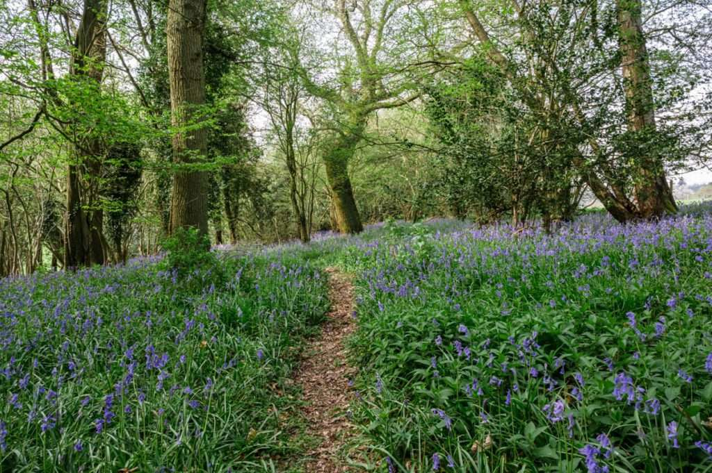A path through the bluebells in oxfordshire