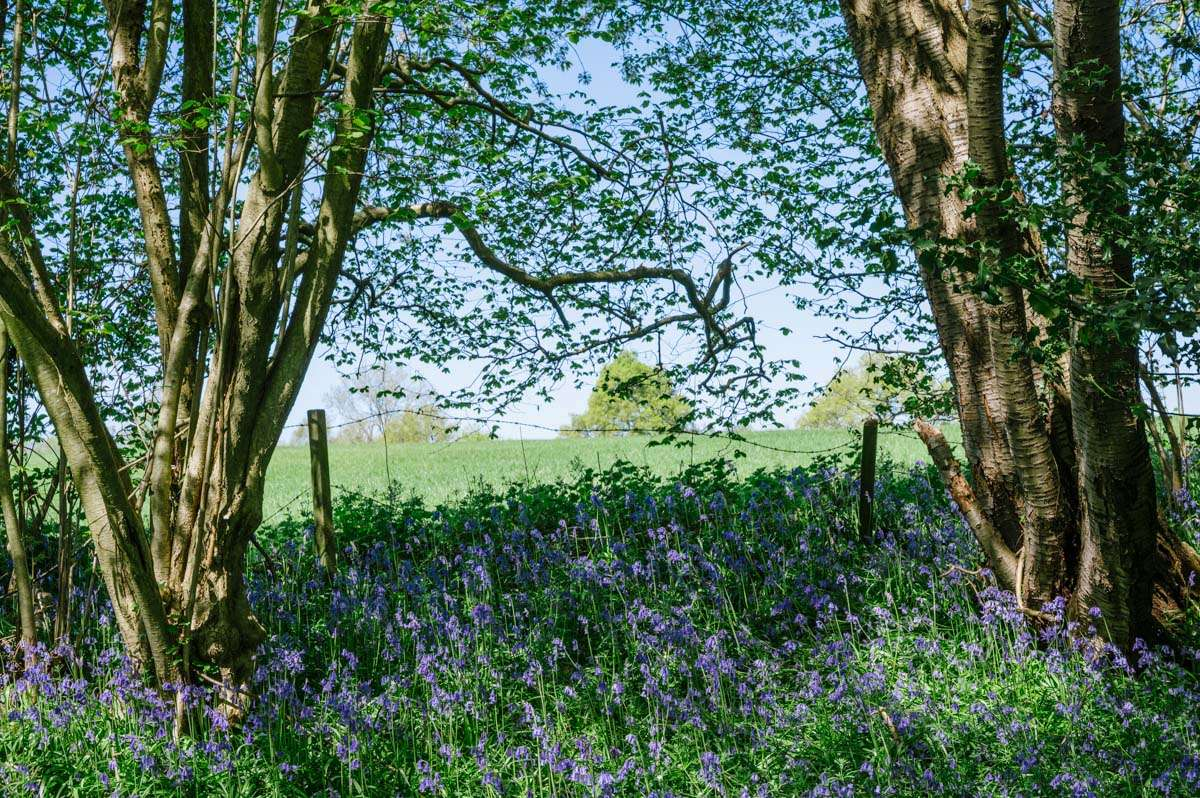 Bluebells next to meadow