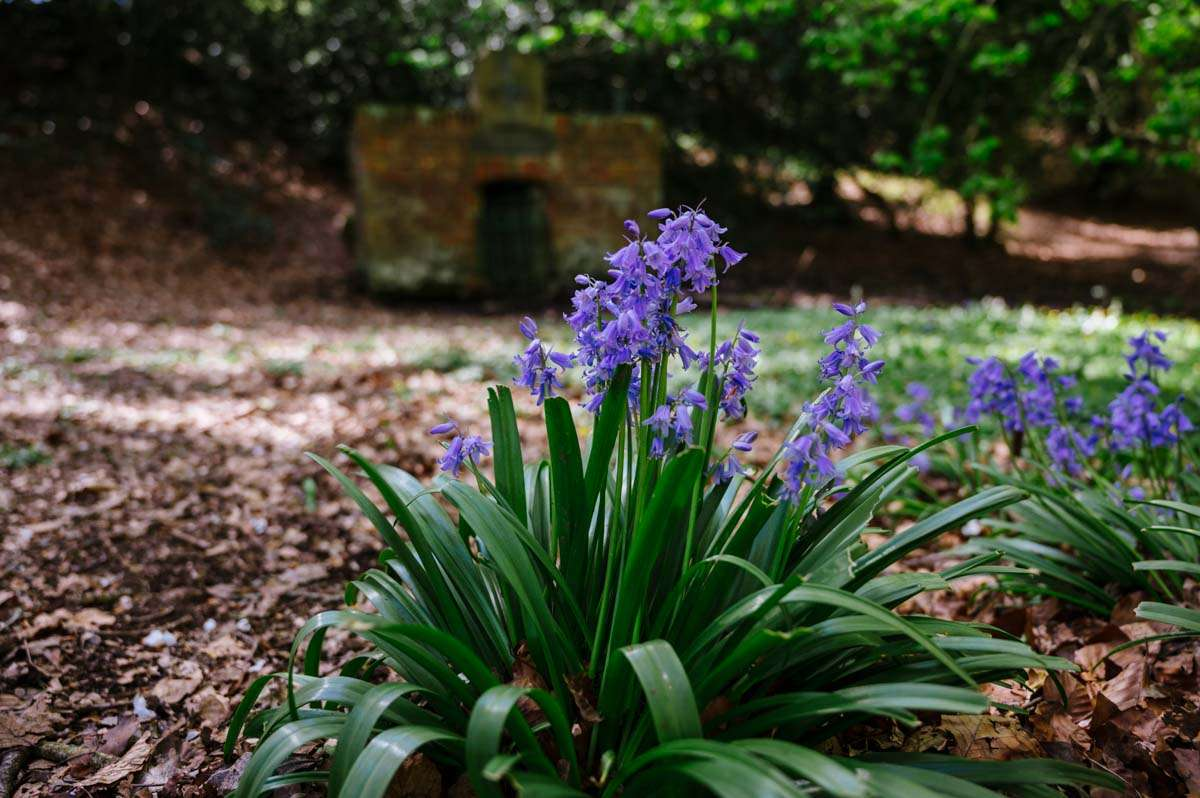photo Bluebells infront of abondoned well Sonning Common