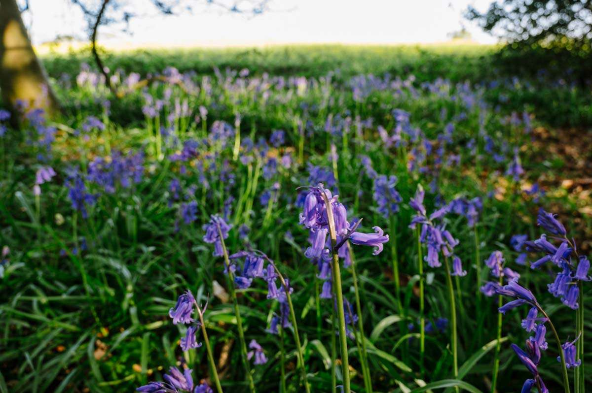 close up of bluebell heads