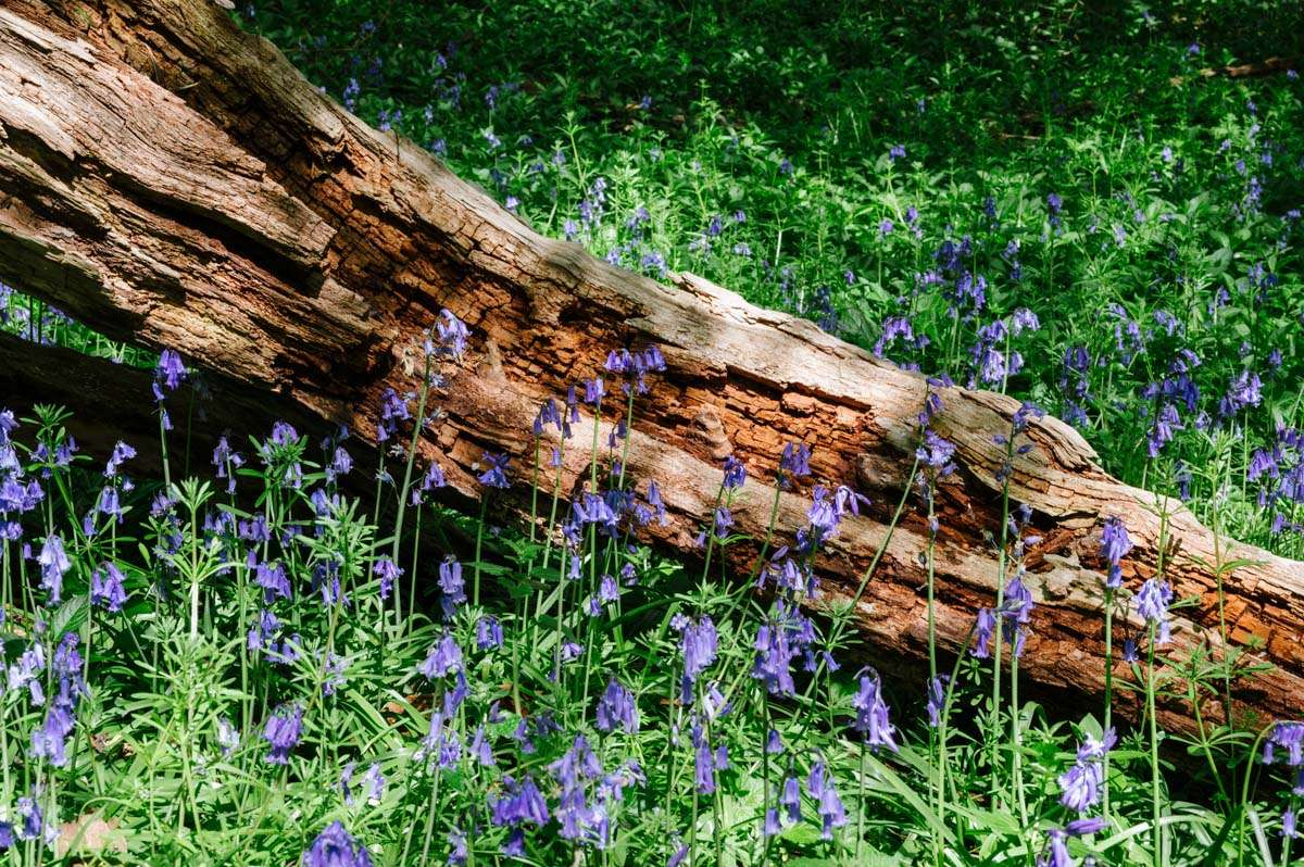 Image of Bluebells by a decaying tree log