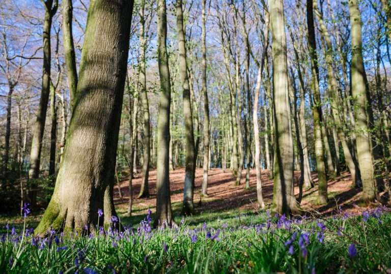bluebells in Oxfordshire woods