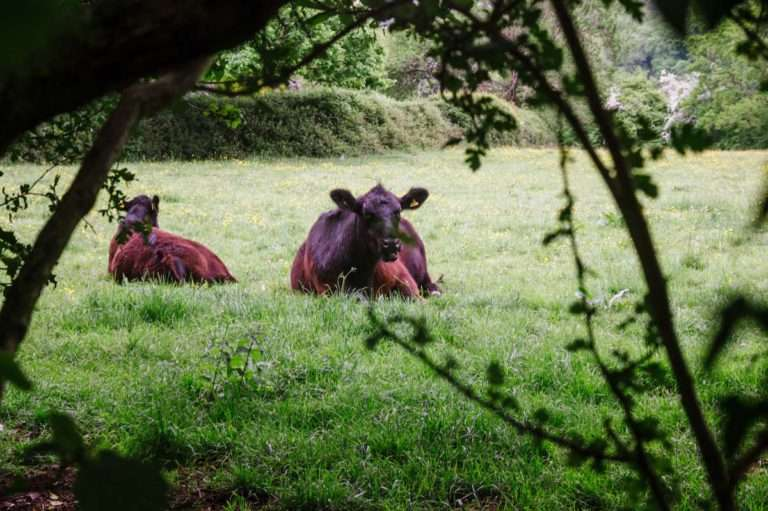 Photograph Cows in a field in Oxfordshire