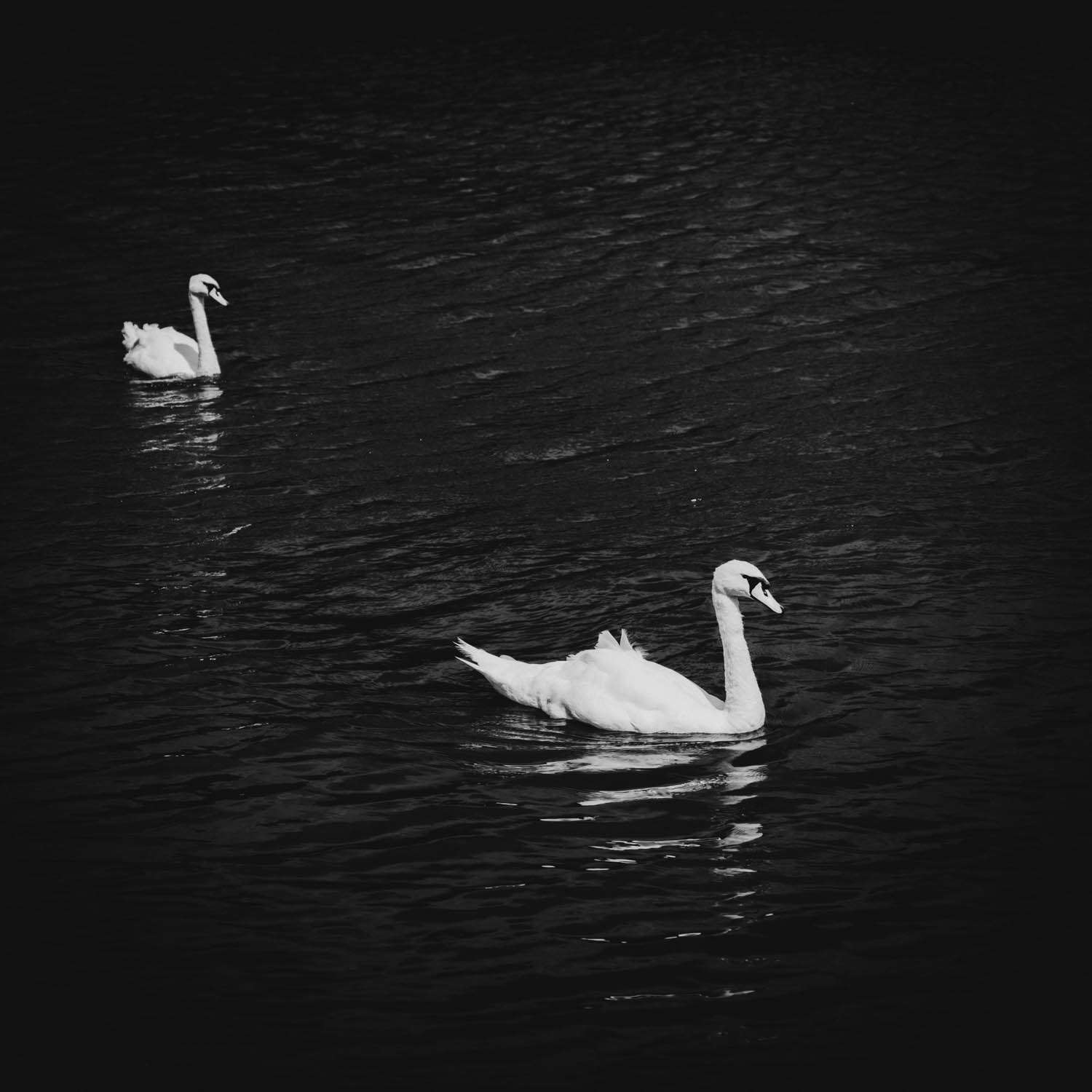 black and white photography of 2 swans swimming in River Thames near Streatley Berkshire