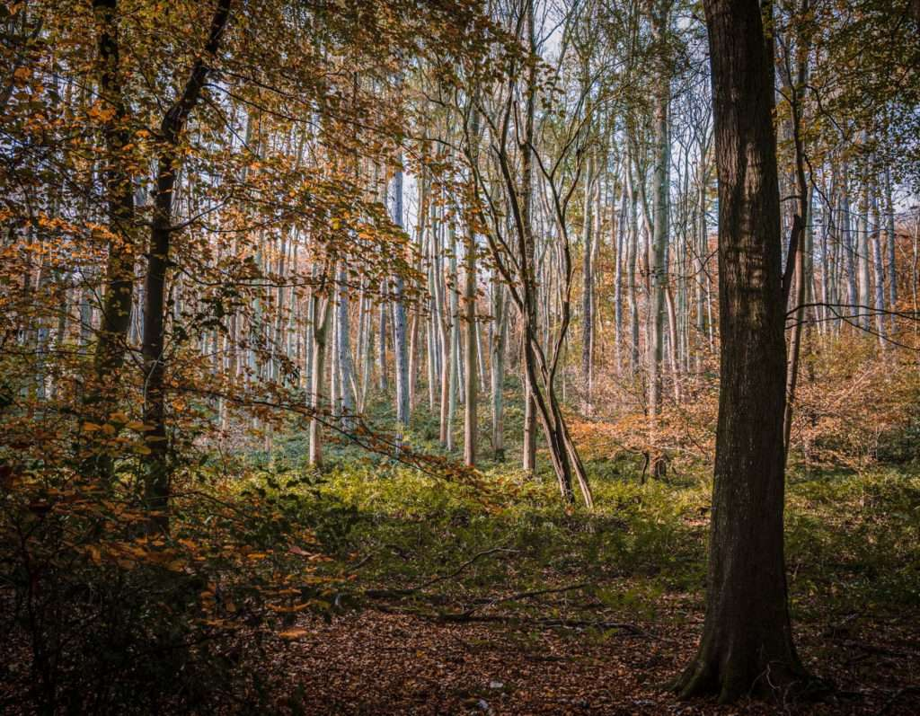Silver Birch Trees photograph