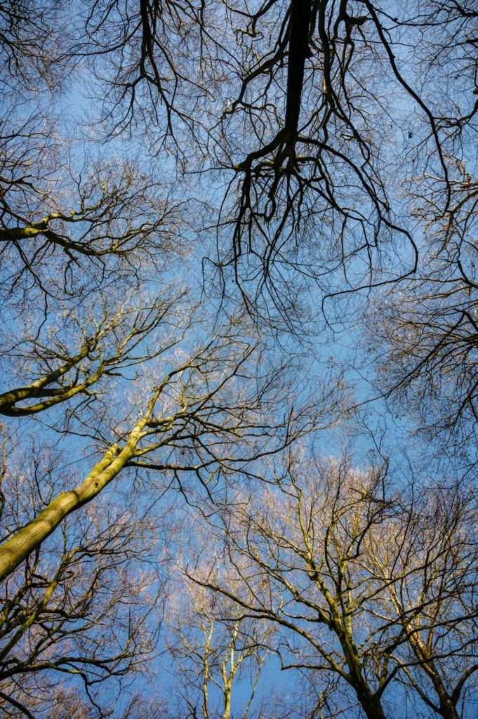 Photograph of tree canopy from below