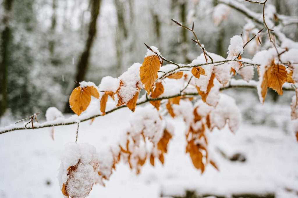 photo of snow covered leaves