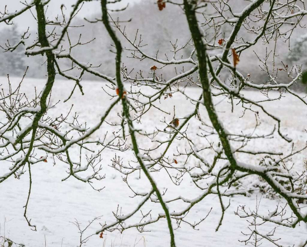 A Robin on a snowy Branch photo