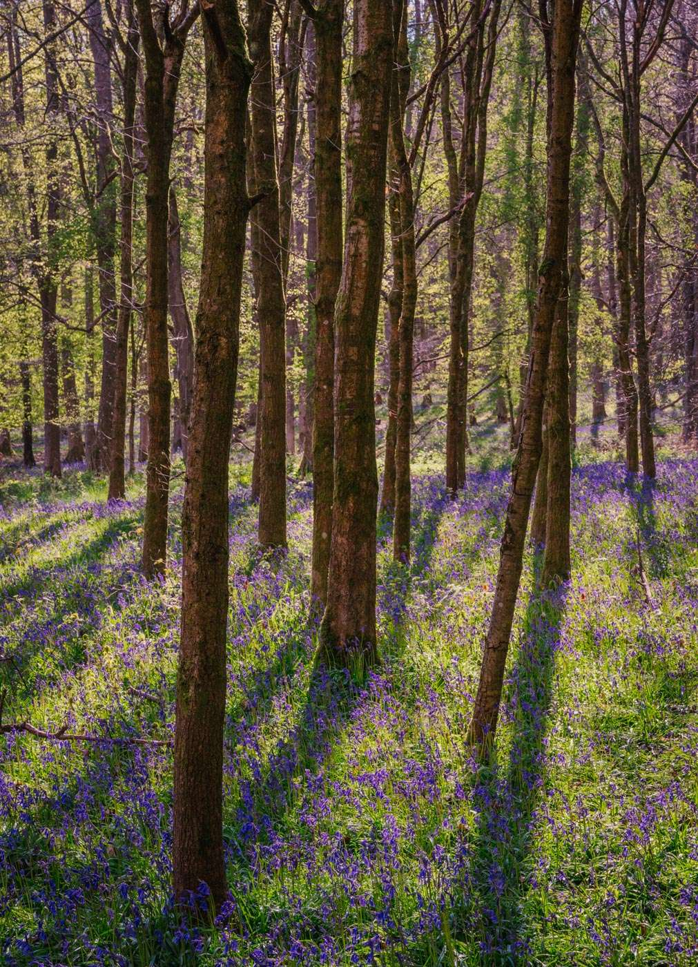 Photograph Bluebells early spring in Oxfordshire