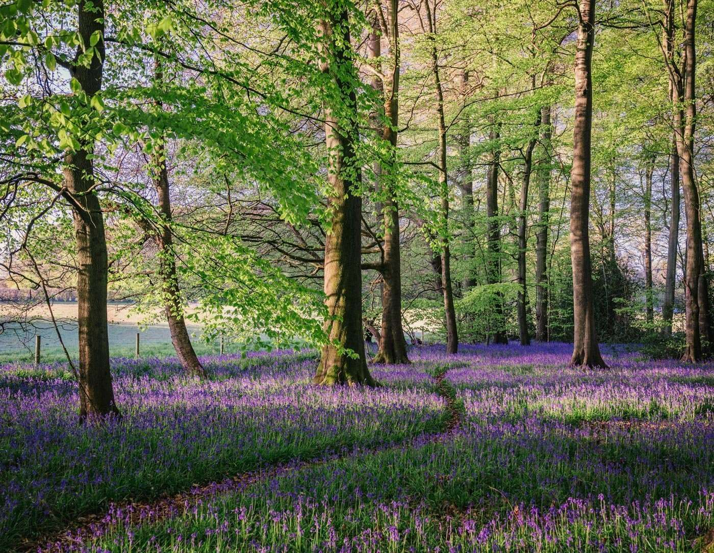 Photo of bluebells with Path running through