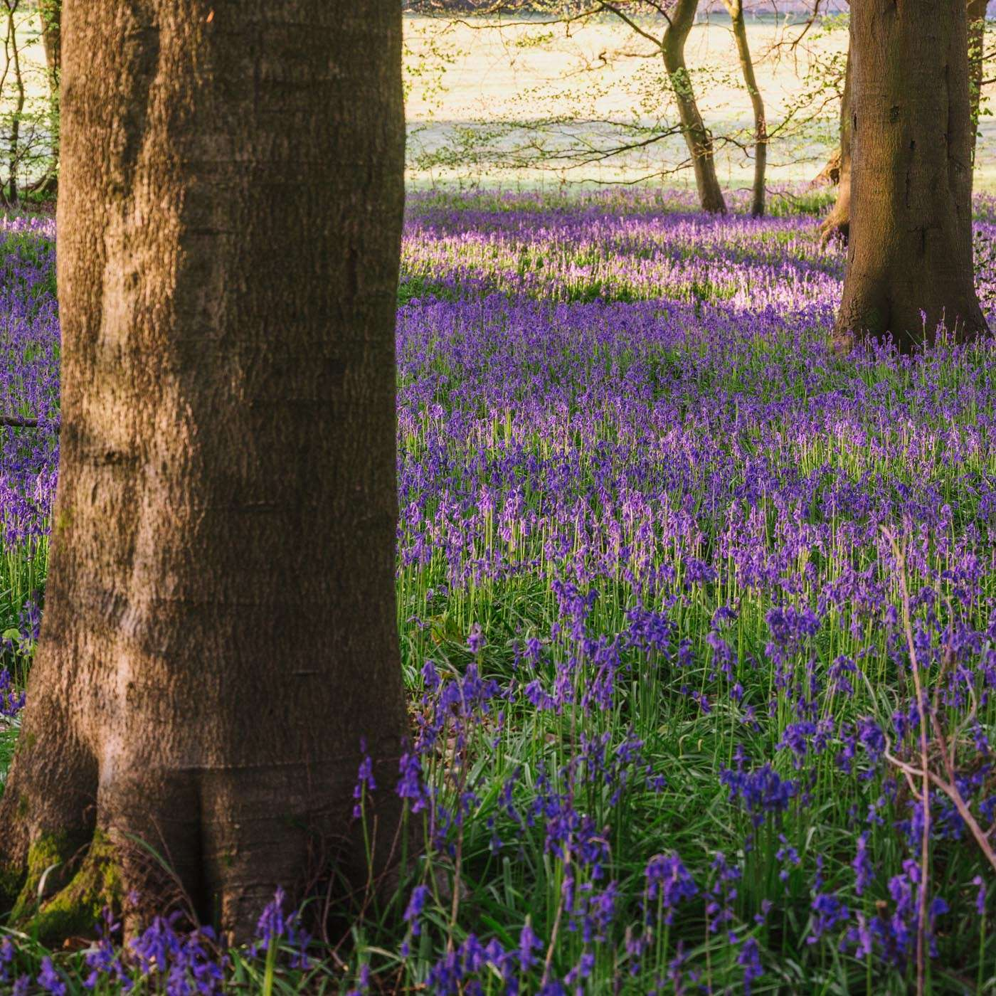 Bluebells Padnells Wood South Oxfordshire