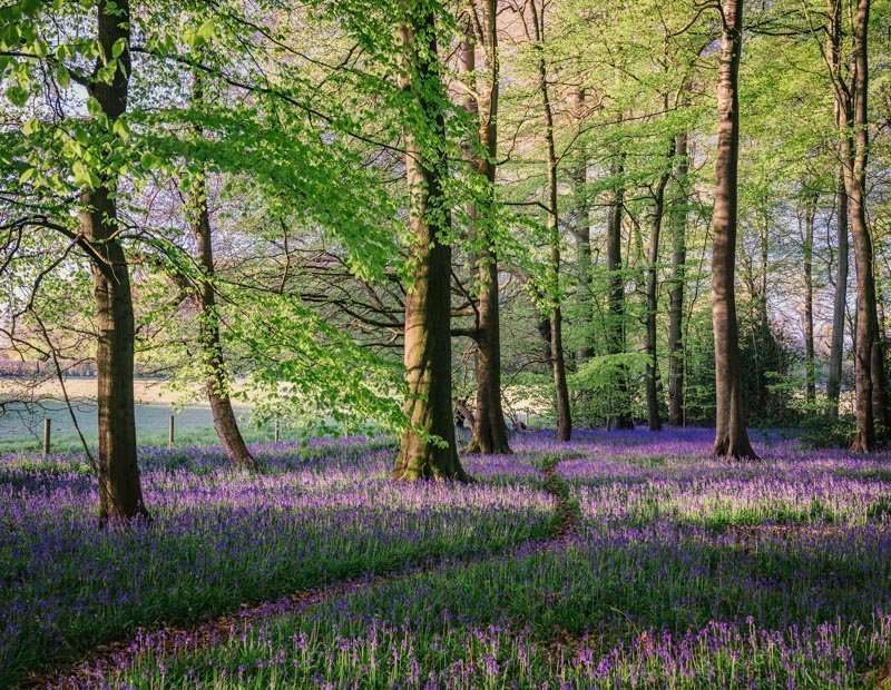 an antidote to a rubbish year, 2021 bluebell images in Oxfordshire