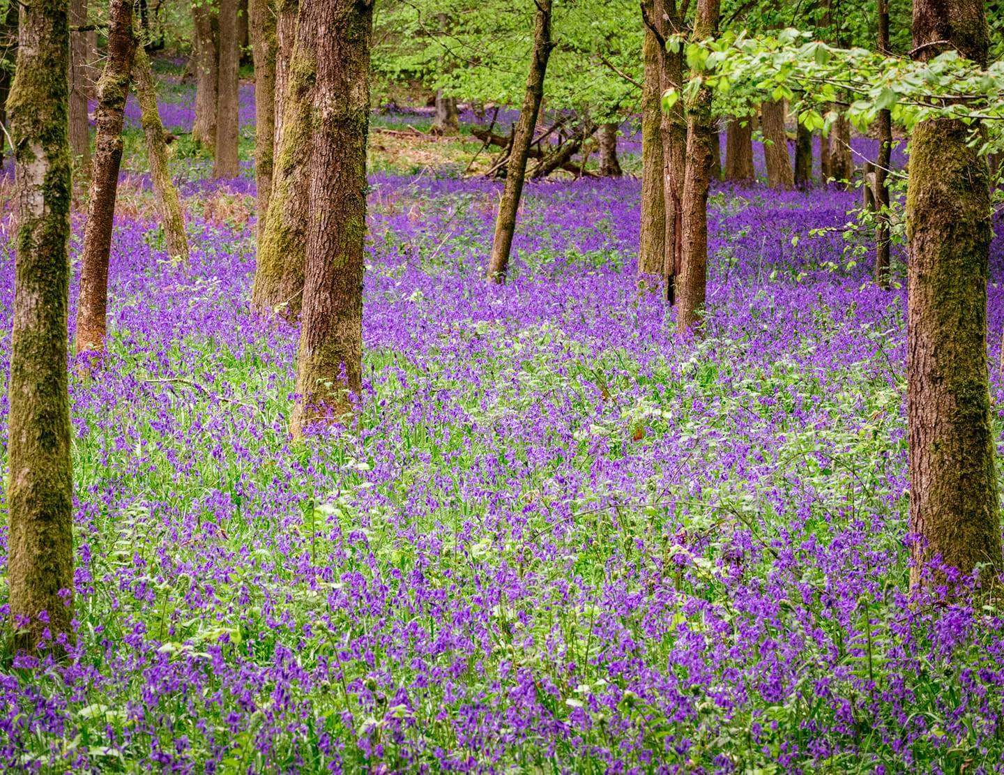 Bluebells Photography Oxfordshire