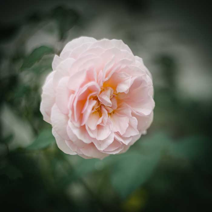 Photo of Rose with Helios 44-2 bokeh shot